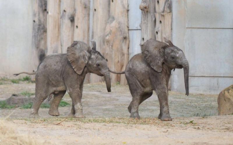 Sie sind das große Glück des Zoos in Halle: Ayo und seine fünf Monate ältere Halbschwester Tamika. Die beiden kann man übrigens leicht auseinander halten. Ayo hat schwarze und Tamika rotbraune Haare.